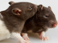 Are Mice the Best Choice in a Lab?